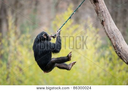 Swinging Chimp V