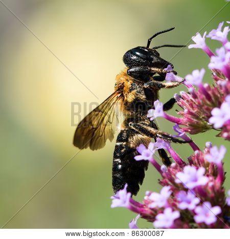 Bumblebee On Purple Flower Ii