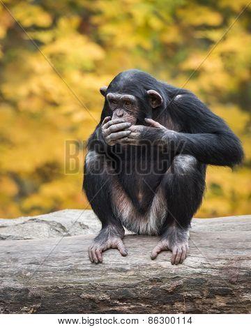 Chimpanzee VIII