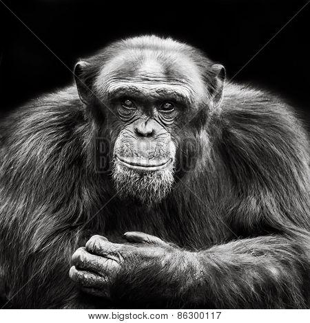 Chimpanzee X