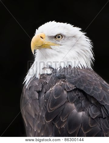 Bald Eagle IV