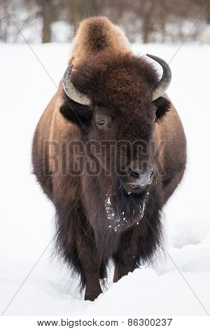 American Bison In Snow II