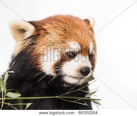 Red Panda XV