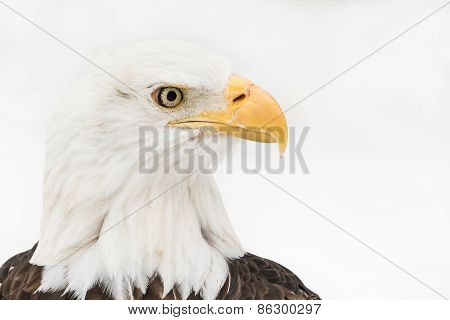 Bald Eagle In Snow III