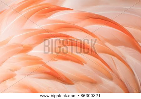 Flamingo Closeup II