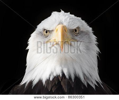 Bald Eagle XVIII