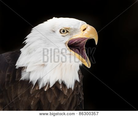 Screeching Eagle II
