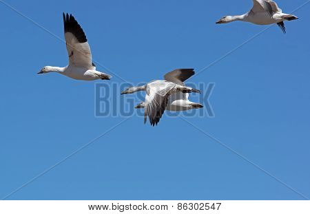 Greater Snow Geese Migrating