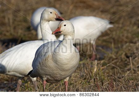 Greater Snow Geese Feeding