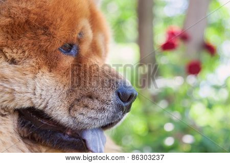guard breed of dog chow-chow
