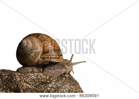 Helix pomatia, Burgundy snail on a stone, France