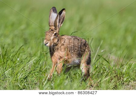 Lepus europaeus, europoean hare in a field, France