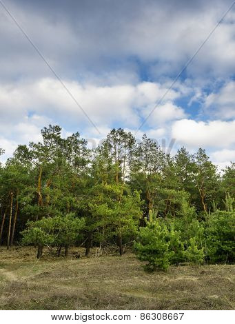 Beautiful Green Pine Trees In Spring Forest With Clouds. Spruce