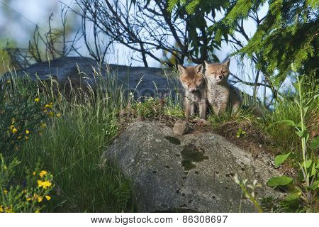Vulpes vulpes, baby red fox in the forest, Vosges, France
