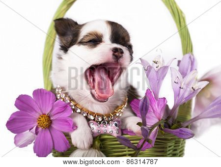 Chihuahua hua puppy and flowers chamomile