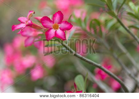 Desert rose flower in a tropical garden, shallow depth of field