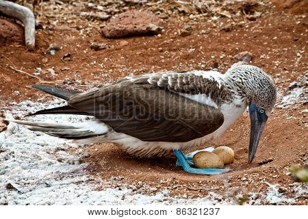 Blue footed booby nesting in the Galapagos Islands