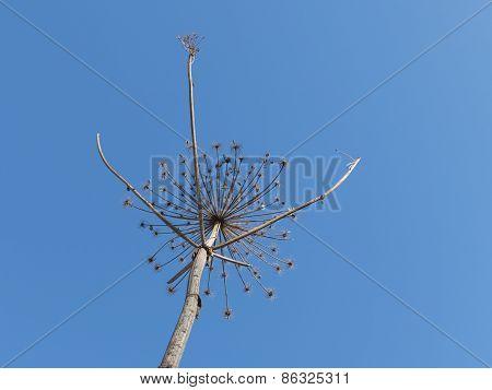 Dry Fragile Plant
