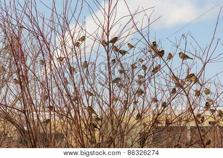 Large Flock Of Sparrows