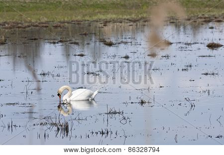 A white mute swan swims in a pond.