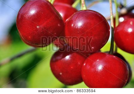 Close-up Of Ripe  Cherry On A Tree