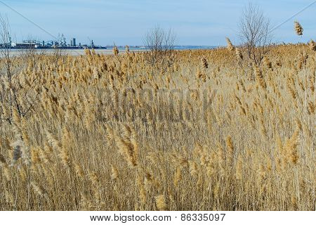 Reeds in a field on the background of blue sky with clouds
