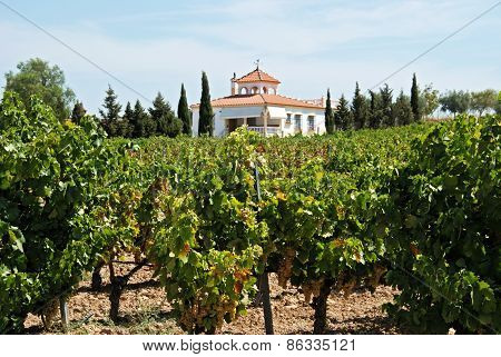 Spanish vineyard, Montilla.