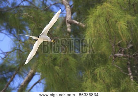 White-tailed tropicbird flies on wood background.