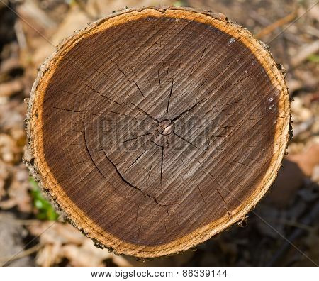 Cut Of Old Tree