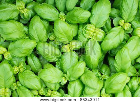 Green Fresh Basil Leaves For Mediterranean Dishes