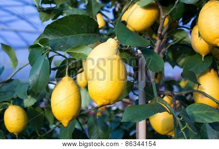 Yellow Ripe Lemons Hung On The Tree In Palermo