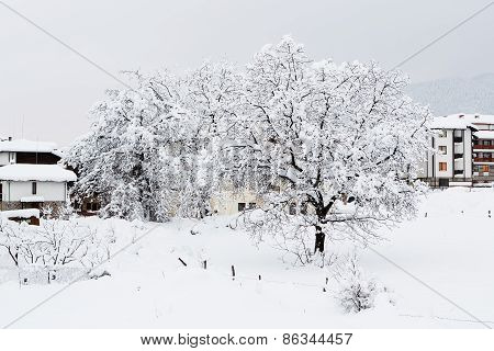 Nut Tree Which Is Filled Up By Snow
