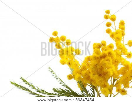 Beautiful sprig of mimosa isolated on white