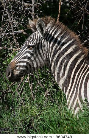 Portrait Of A Zebra.