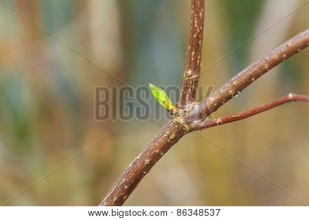Unfolding Buds In Early Springtime On Tree Branch
