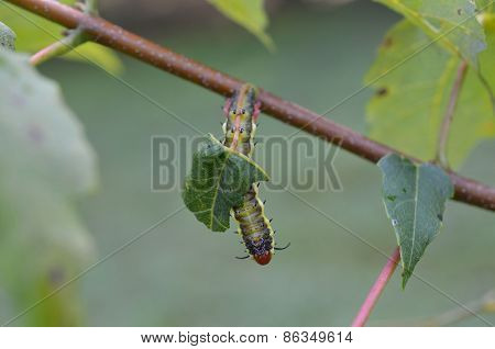 Caterpillar eating leaves