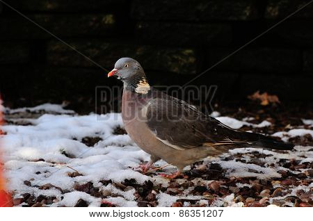 Wood Pigeon In The Snow.