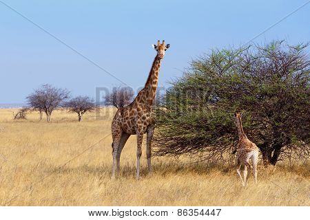 Adult Female Giraffe With Calf Grazzing On Tree