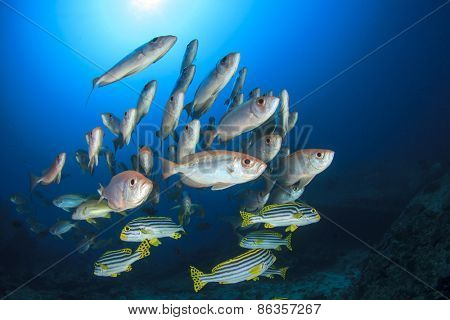 Fish school underwater: Oriental Sweetlips and Crescent-tailed Bigeyes