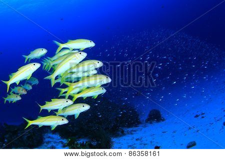 School of fish: Yellowfin Goatfish