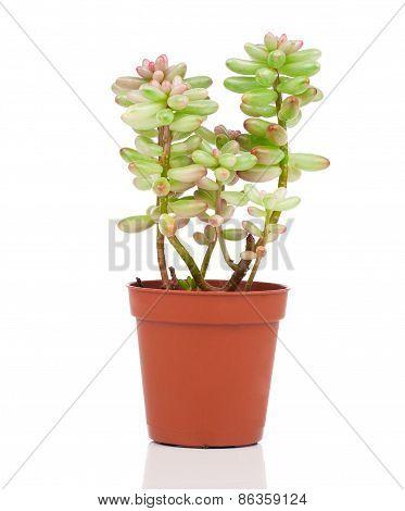 Adromischus Houseplant