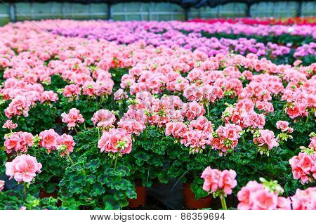 Greenhouse With Blooming Geranium Flowers