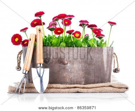Spring flowers in wooden basket with garden tools. Isolated on white background