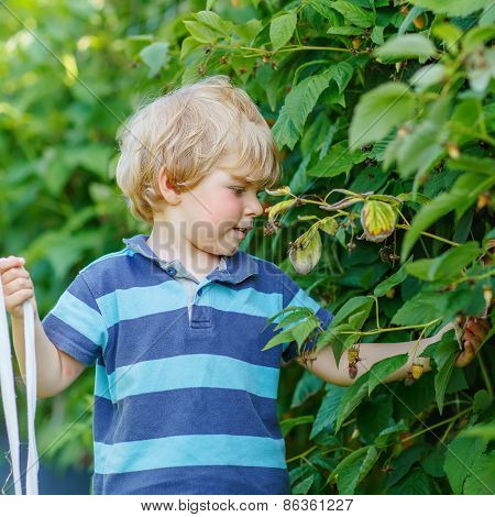Cute Toddler Boy Having Fun With Picking Berries On Raspberry Farm
