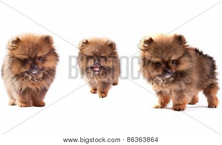Face Of Three Lovely Pomeranian Dog Puppies Standing And Looking To Veiwer Isolated On White Backgro