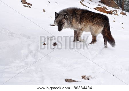 Gray wolf walking through snow