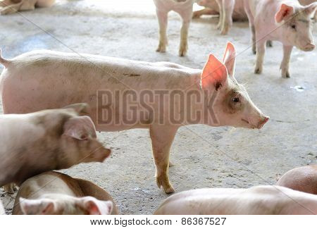 Thai Stlye Commercial Pig Farm