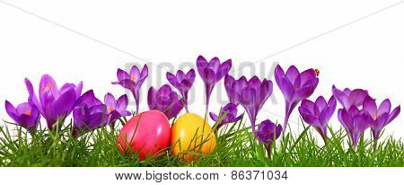 Colorful Easter Eggs And Purple Crocuses.