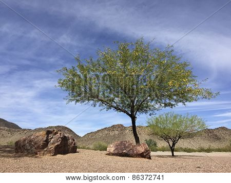 Arizona Mesquite Trees in Desert Backyard