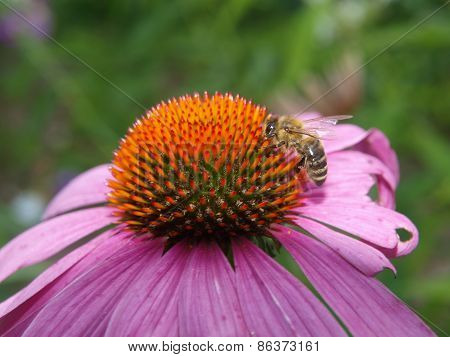 Bee On A Flower Echinacea